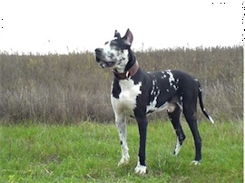 Ramses – Dog German