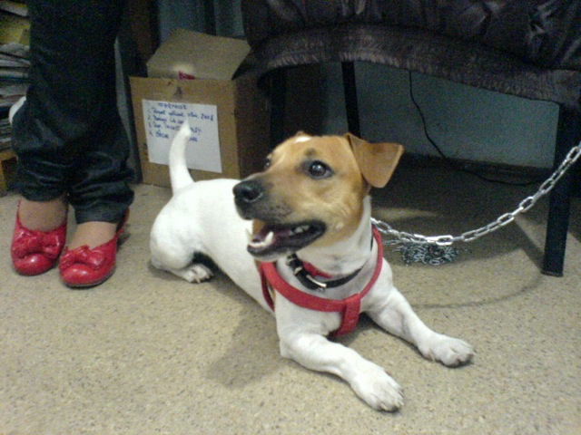 Jack- Russel -Terrier